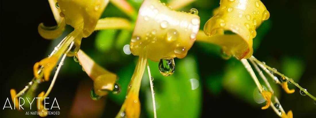 Top 10 Honeysuckle Tea Health Benefits / Effects